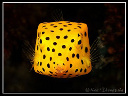 Yellow Boxfish... Similan Island Dive Site by Ken Thongpila 